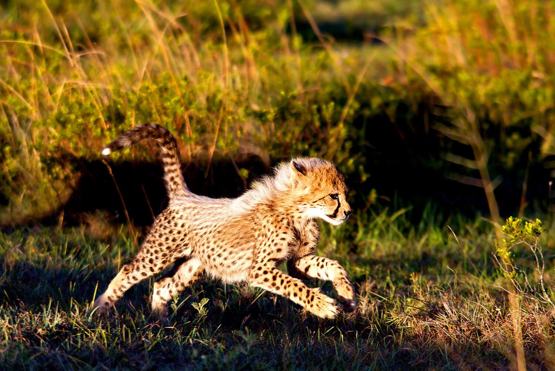 Gepard Jungtier übt Jagd