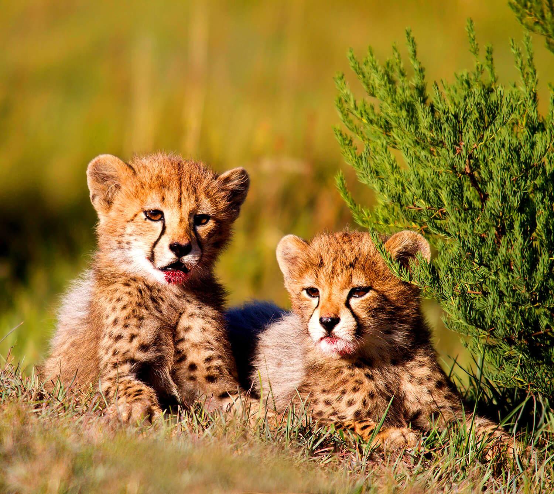 Gepard Babys