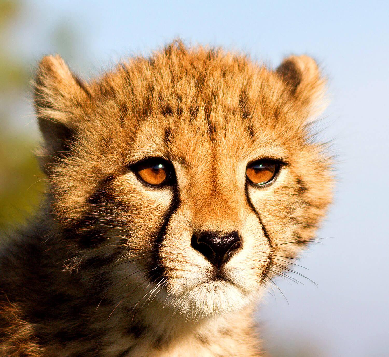 Gepard beobachtet