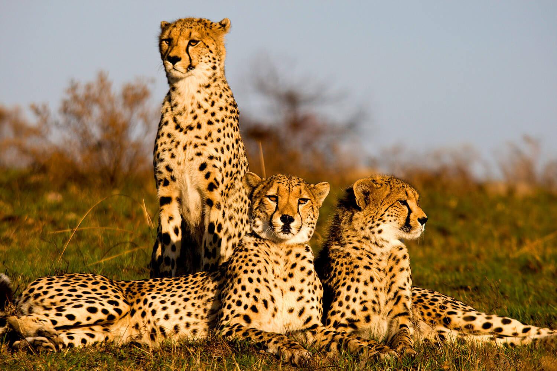 Geparden-Gruppe