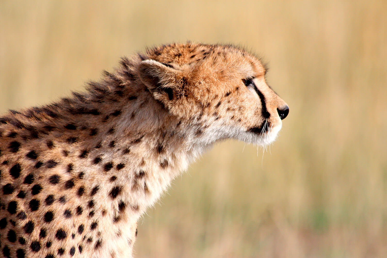 Gepard schnuppert