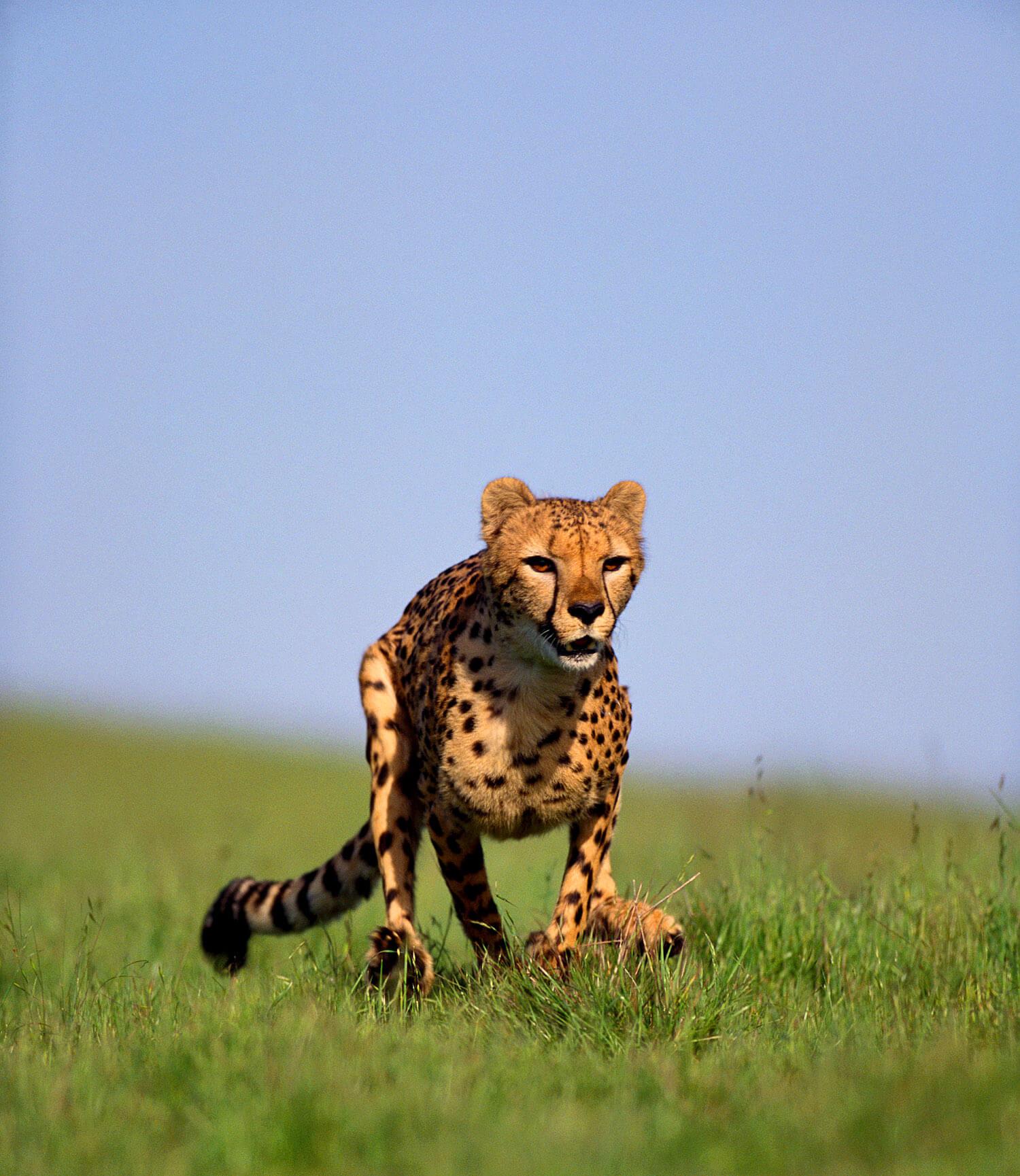 Gepard im Sprint