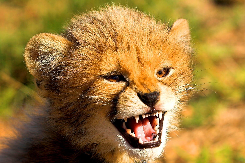 Baby-Gepard