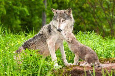 Wolf Steckbrief Bilder Und Fakten