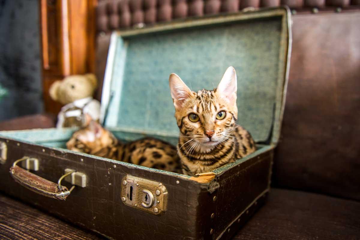 Bengalkatze im Koffer
