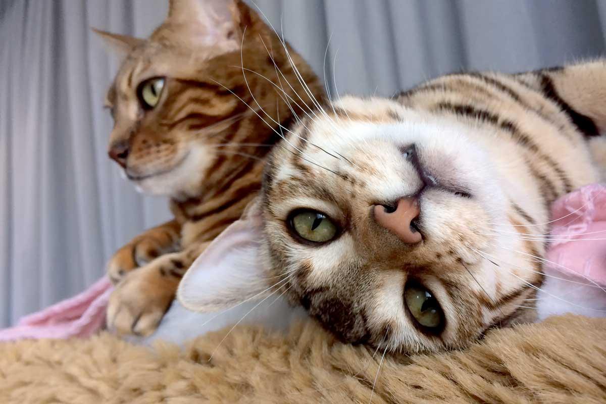 Bengalkatze will spielen